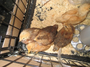 chicks in a cage