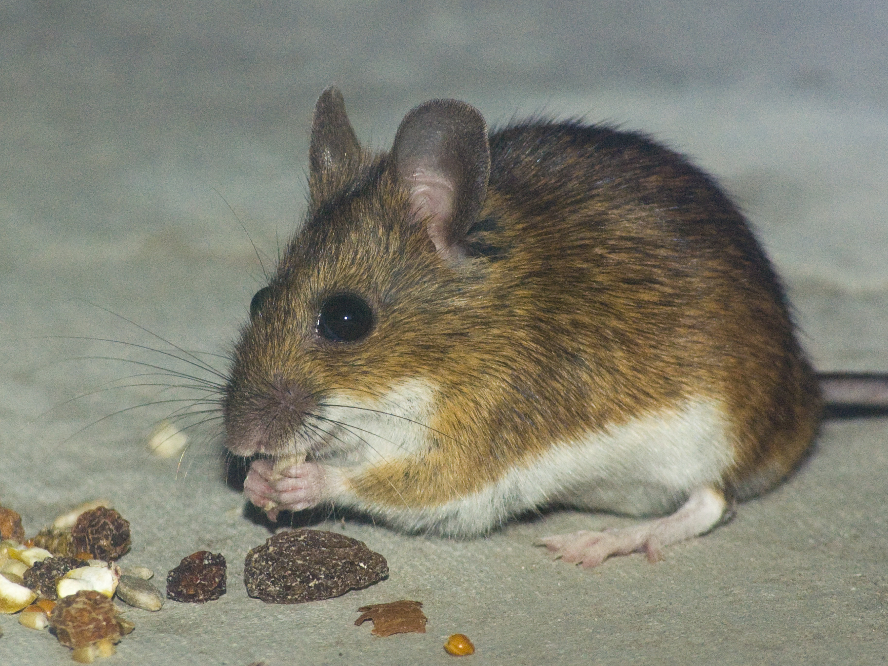 how to get rid of pet mouse