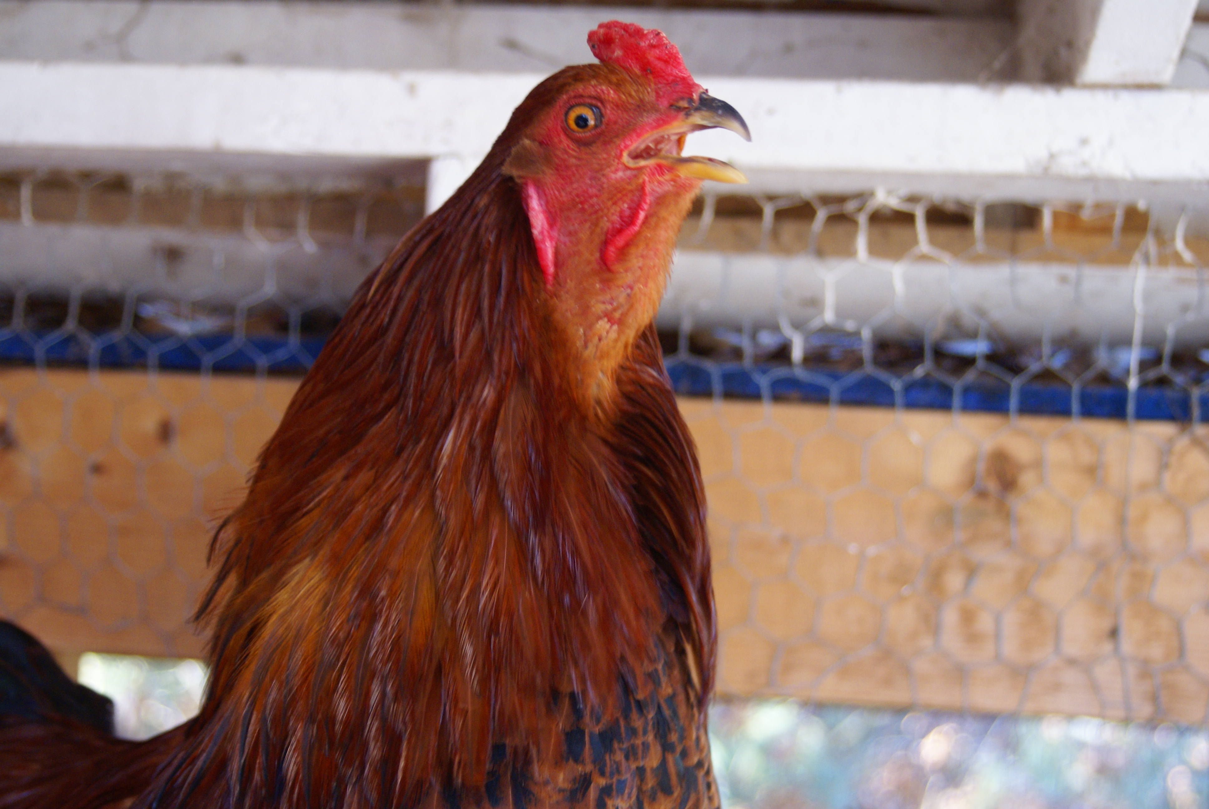 our rooster chickens crowing - photo #39