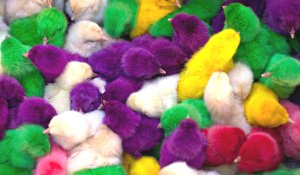 Dyed Easter chicks