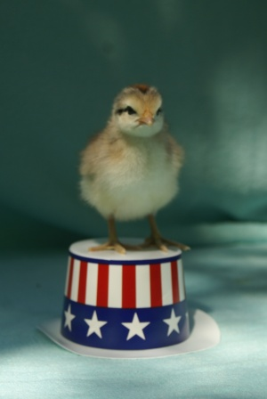 presidential chick
