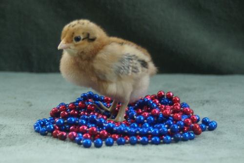 mardi gras chick