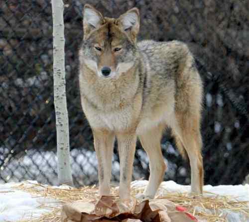 coyote1 (1)