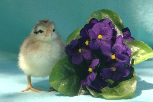 chick with flowers