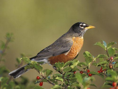 American-Robin-1