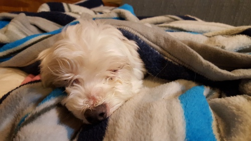 A recovering puppy in clean blankets.